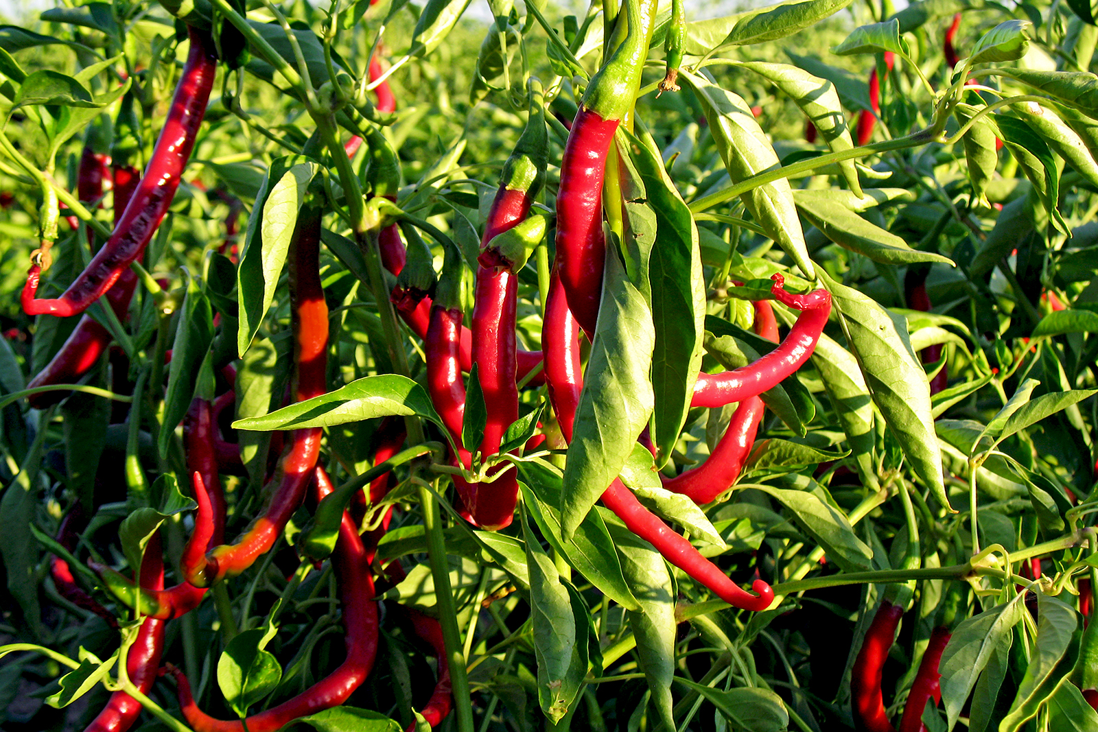Fresh chillies before harvest.
