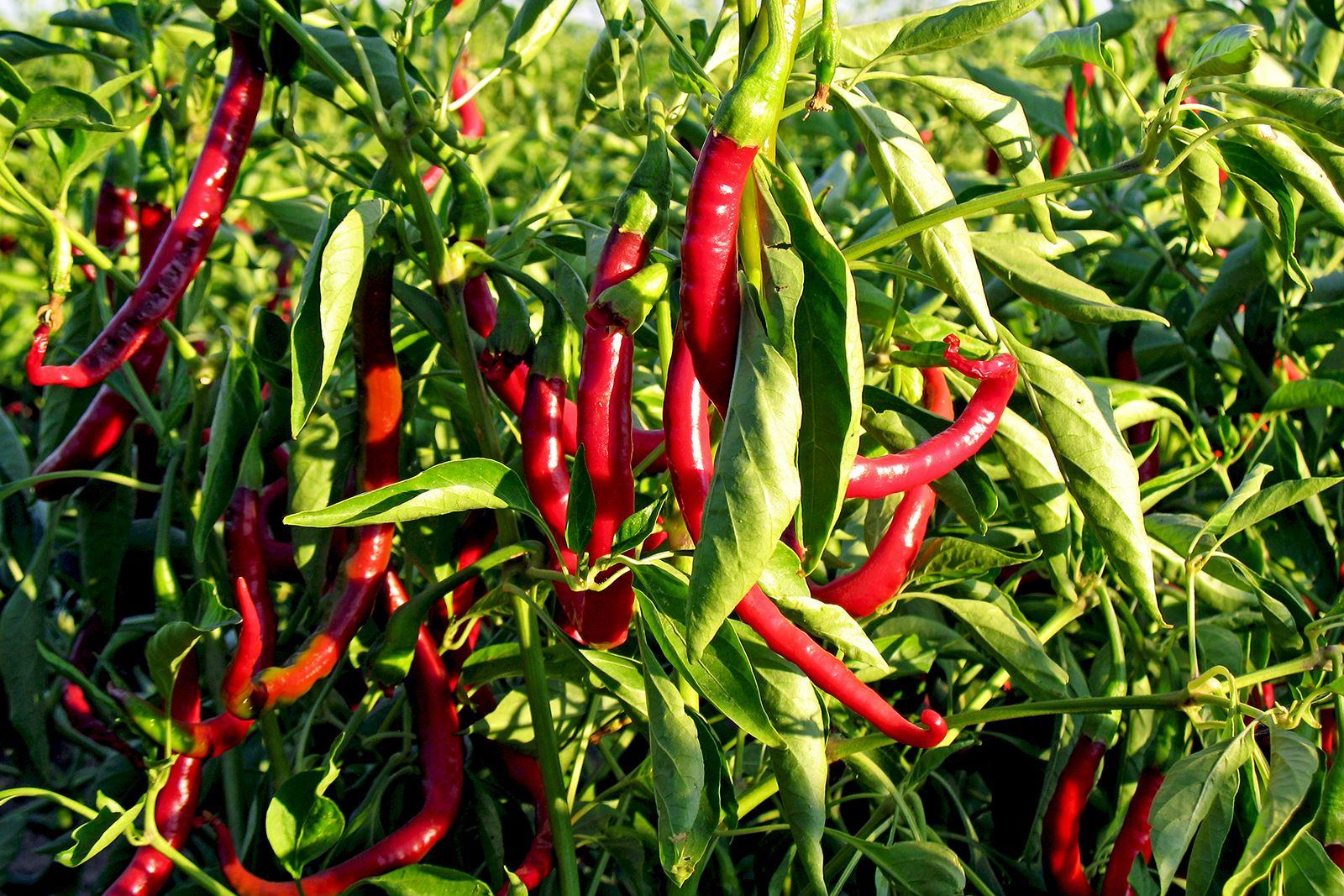 vad är chili bra för