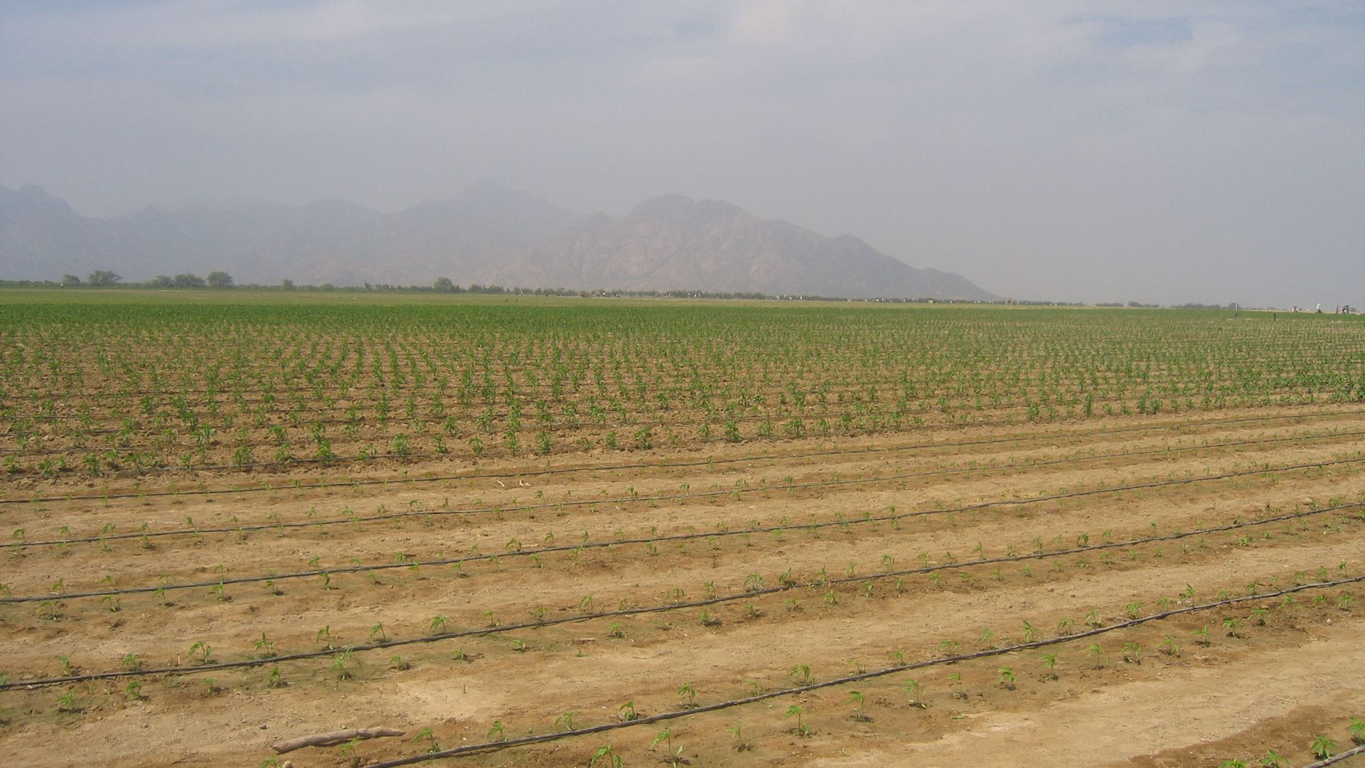 Irrigation of a chilli field in Peru.