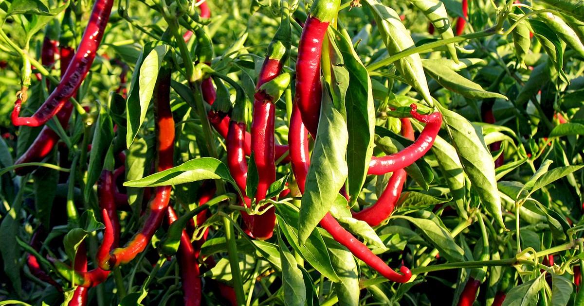 fakta om paprika